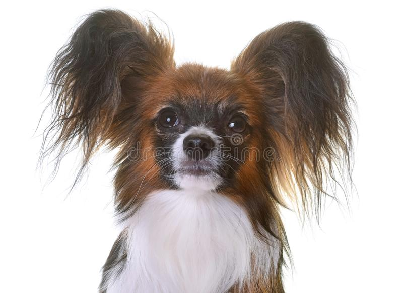 Download Young papillon dog stock photo. Image of tricolor, young - 103131306