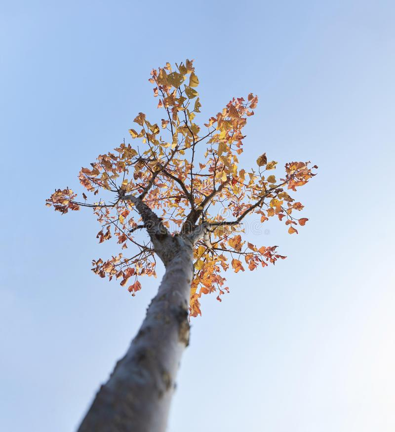 Young peach tree in autumn sunset stock photo