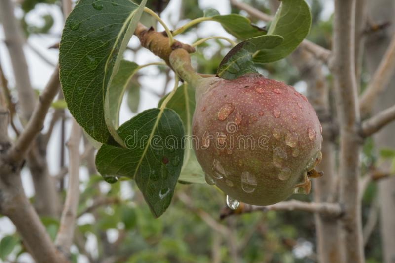 Young pear growing in New Mexico. A young pear gains much needed moisture while growing in southwest New Mexico royalty free stock photos