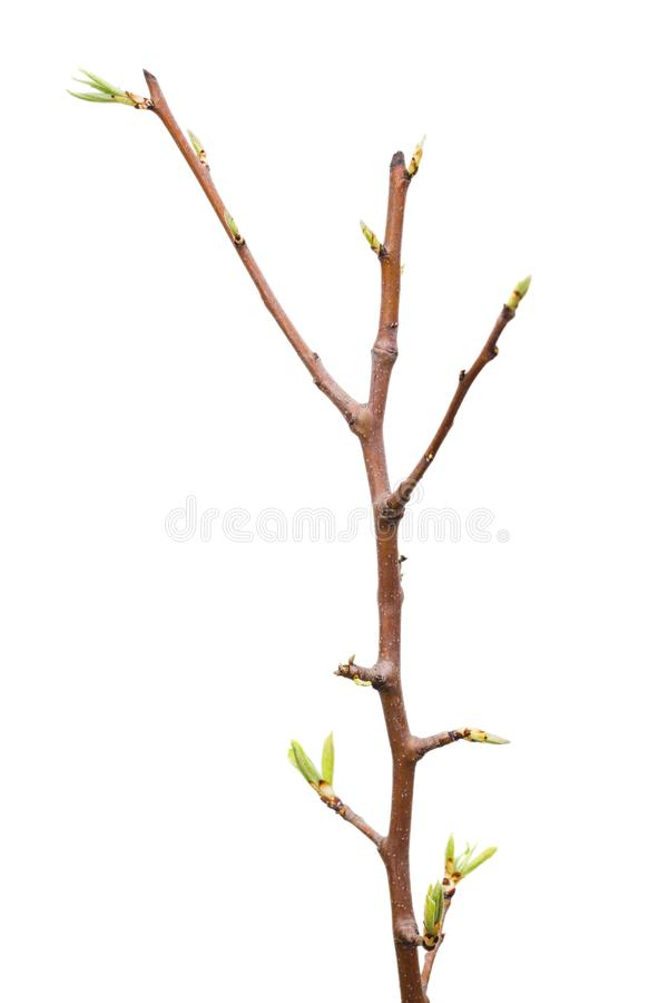 Young pear tree isolated on white background.  stock image