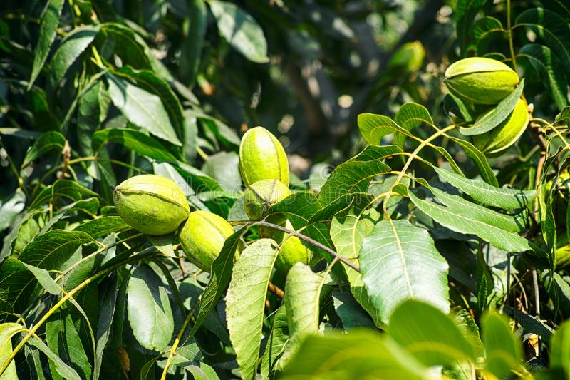 Young pecan nuts growing on the tree. Close-up royalty free stock photos