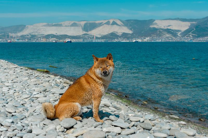 Young pedigree dog resting on the beach. Red shiba inu dog sitting near the black sea in Novorossiysk stock images