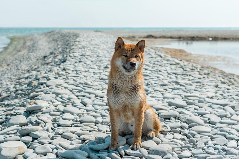 Young pedigree dog resting on the beach. Red shiba inu dog sitting near the black sea in Novorossiysk stock photo