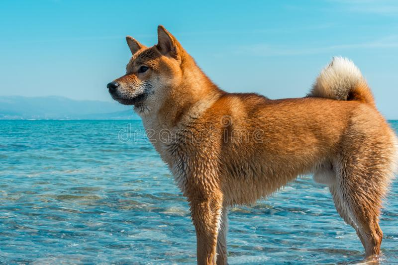 Young pedigree dog resting on the beach. Red shiba inu dog standing in the black sea in Novorossiysk royalty free stock photography