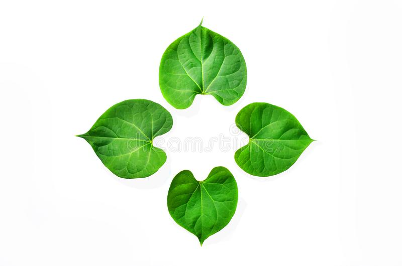 The young peepul leafs with the white background and clipping path royalty free stock image