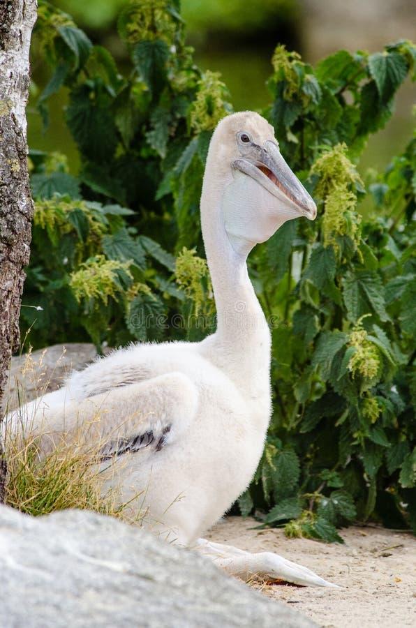 Young Pelican Free Public Domain Cc0 Image