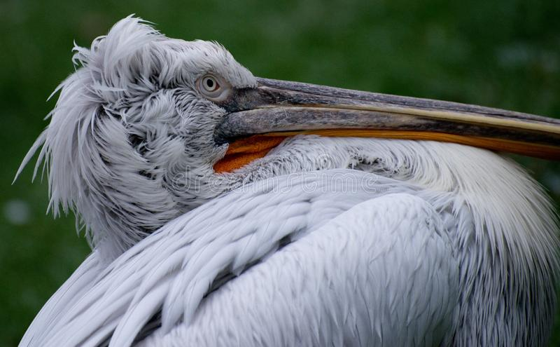 Young pelican. Beautiful white young pelican on green background stock image