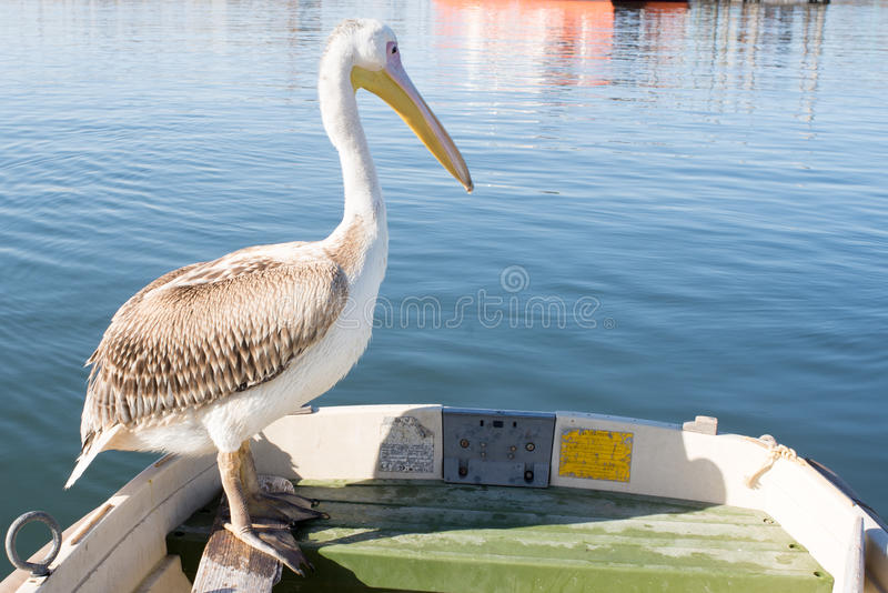 Young Pelican on Edge of Dingy. A young pelican sit on the edge of a dingy at Walvis Bay royalty free stock photos