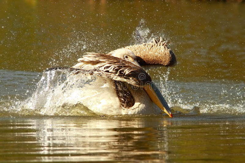 Young pelican playing on water. Young pelican splashing water ( Pelecanus onocrotalus royalty free stock photo