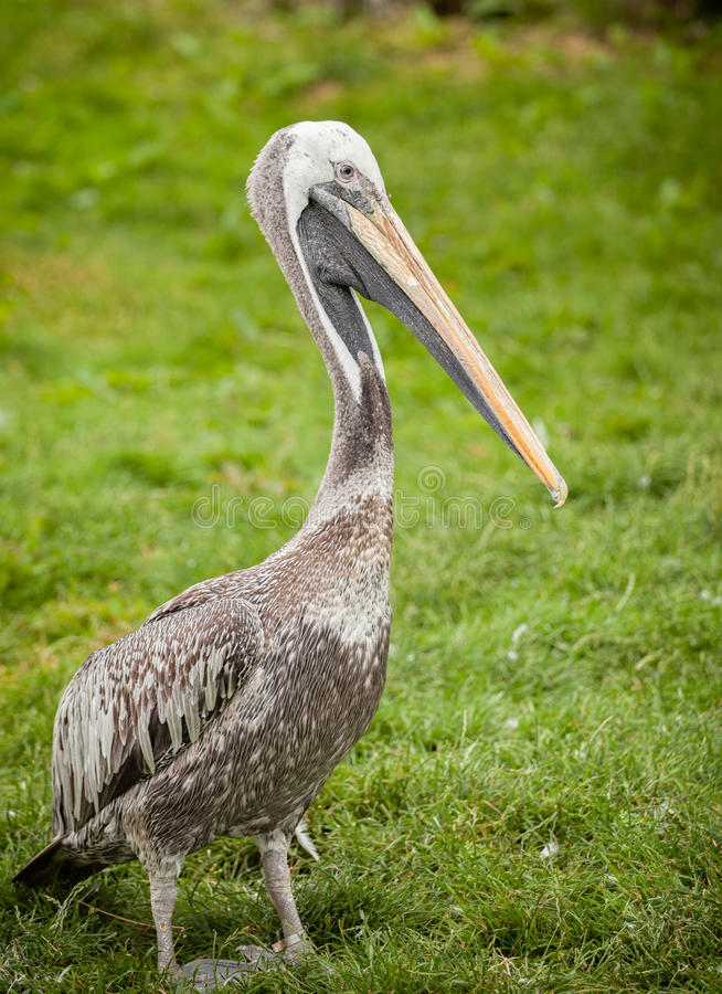 Young Pelican. Profile Portrait Of Young Pelican At A Zoo stock images