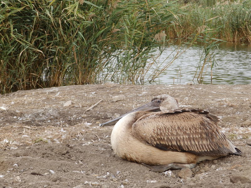 Young pelican resting. Near a lake royalty free stock image