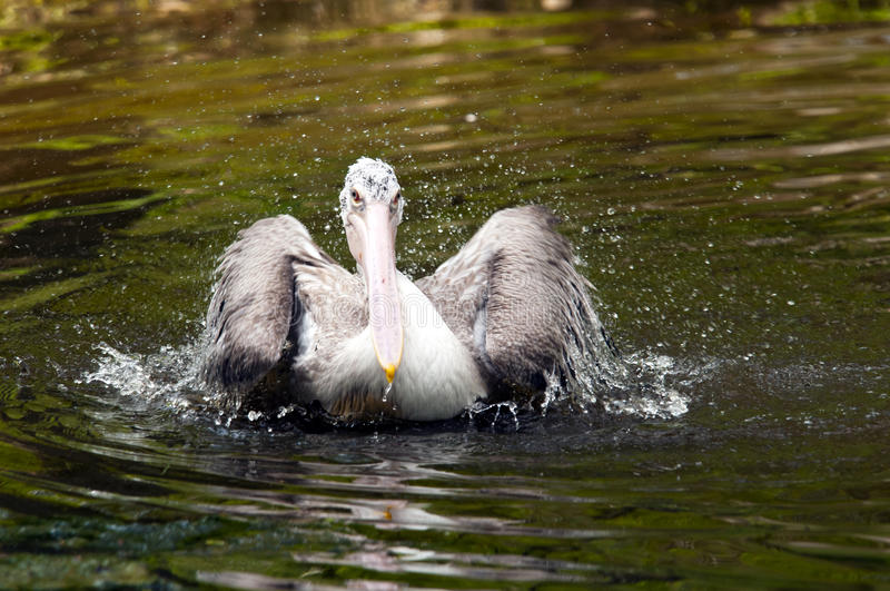 Young pelican. A young pelican in the water stock photography