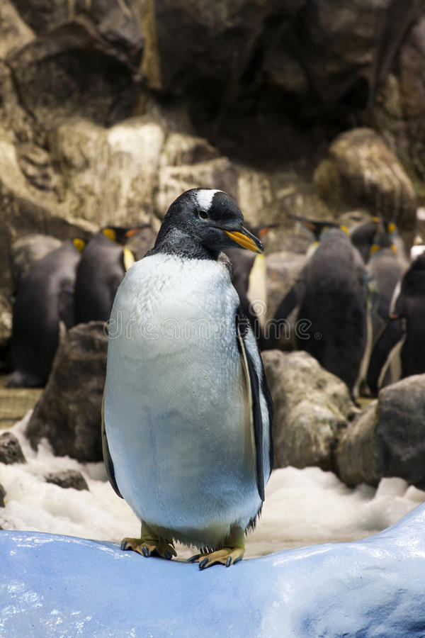 Young penguin stock image