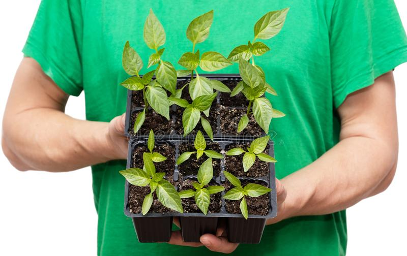 Young pepper sprouts royalty free stock image