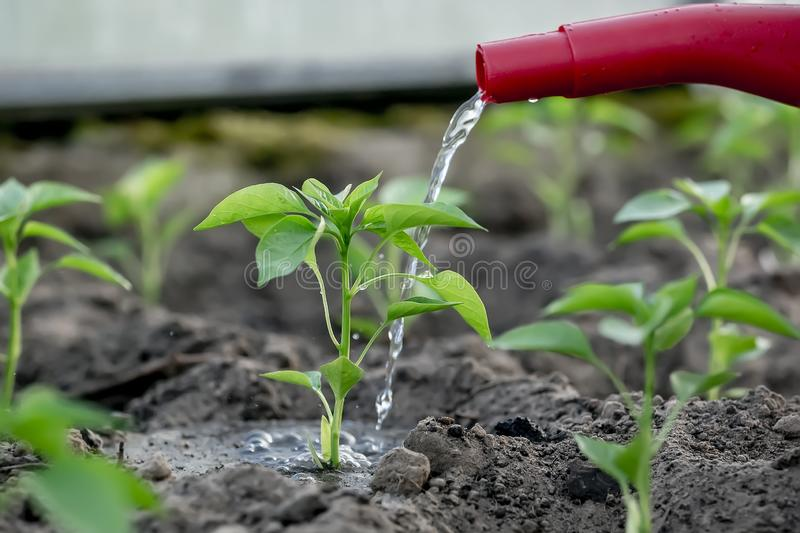 Young peppers in the greenhouse watering from a watering can stock photos