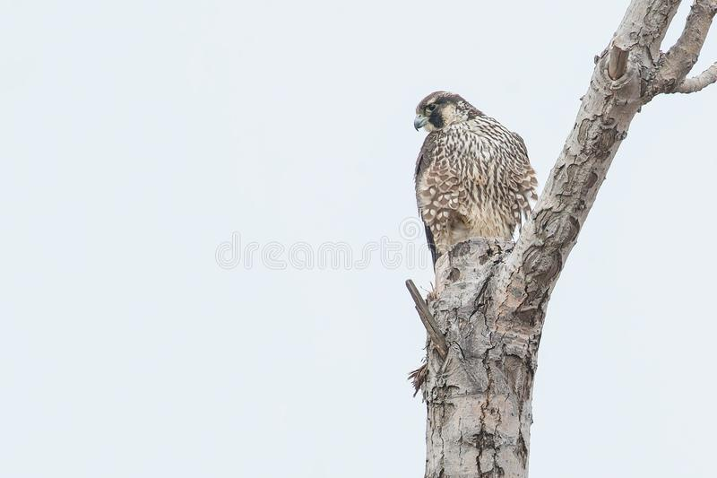Download Peregrine Falcon stock image. Image of ornithology, environment - 109575203