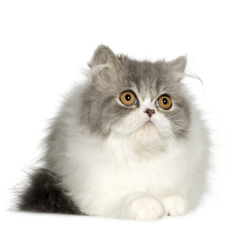 Free Young Persian Cat (6 Months) Stock Photography - 4992042