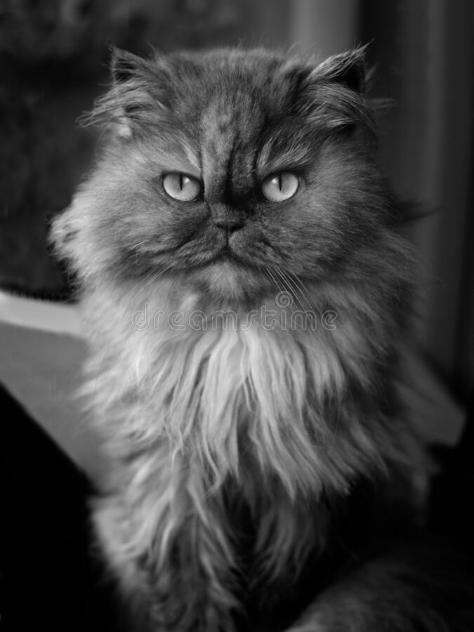 Free Young Persian Cat Looking At Camera. Black And White Portrait. Royalty Free Stock Photo - 201767275