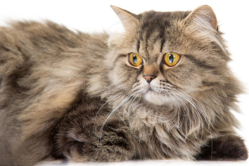 Young Persian cat lying on  white