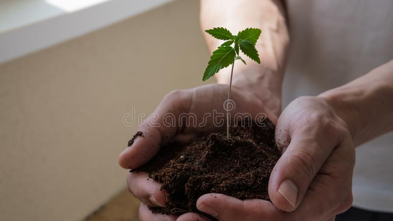 The young person hold in his hand sprout of medical marijuana stock photography