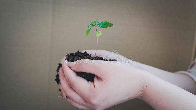 The young person hold in his hand sprout of medical marijuana royalty free stock photo