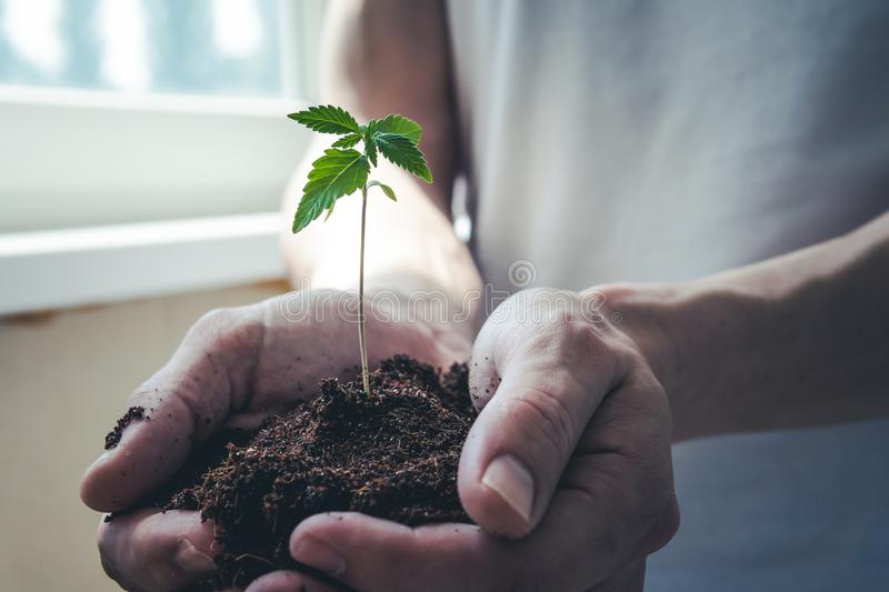 The young person hold in his hand sprout of medical marijuana royalty free stock image