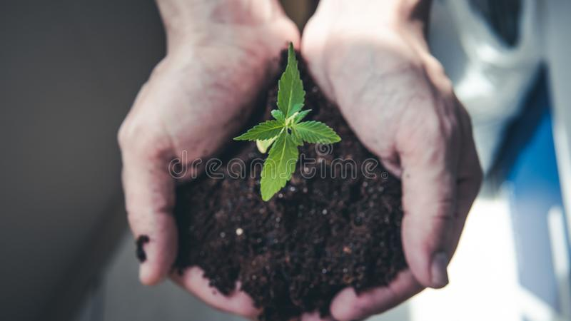The young person hold in his hand sprout of medical marijuana royalty free stock photography