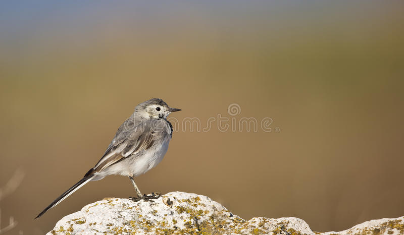 Download Young Pied Wagtail On A Rock (Motacilla Alba) Stock Image - Image: 38900273