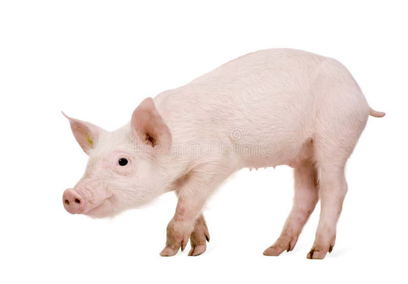 Download Young Pig (+/-1 Month) Royalty Free Stock Image - Image: 5353626
