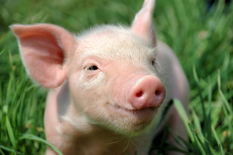 Young pig royalty free stock photos