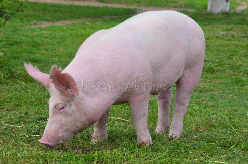 Young pig royalty free stock images