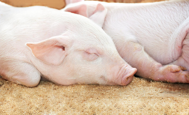 Download Young pig in shed stock photo. Image of white, shed, livestock - 19993124