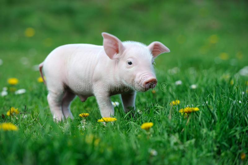 Young pig. On a spring green grass royalty free stock photography