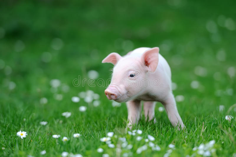 Young pig. On a spring green grass royalty free stock image