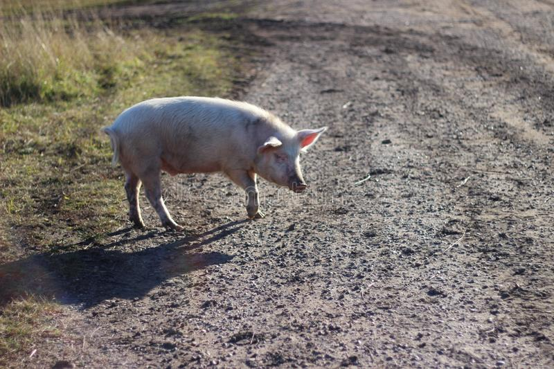 Pig for a walk royalty free stock photos