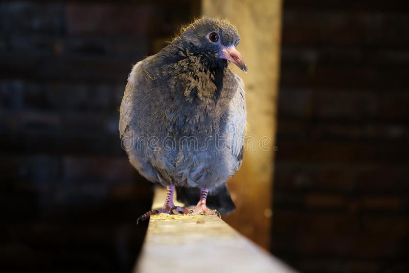 Young pigeon on a wooden ledge, inside, sheltered, looking curious at the camera- close up.  royalty free stock images
