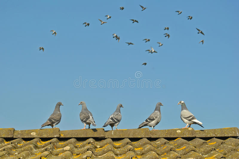 Young pigeons watch flying pigeons stock images