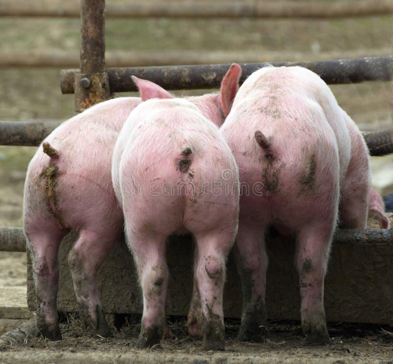 Young pigs stock photos