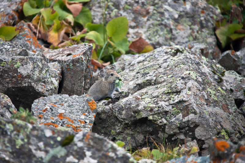 Young pika feeds on grass among the rocks in Tien-Shan. A rodent from the family of lagomorphs red pika in places of their habitat in the mountains of stock photos