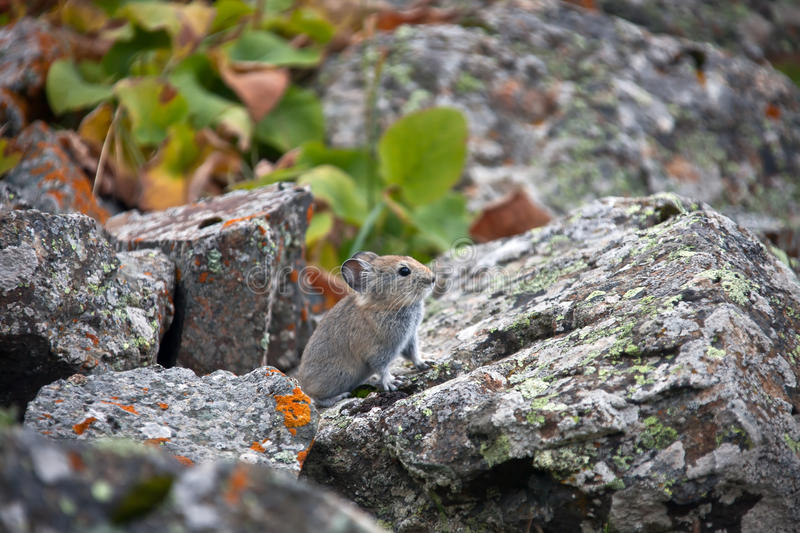 Young pika in the mountains of Tien Shan. A rodent from the family of lagomorphs - pika red fall among the stones. The Issyk-Kul region, Kyrgyzstan royalty free stock image