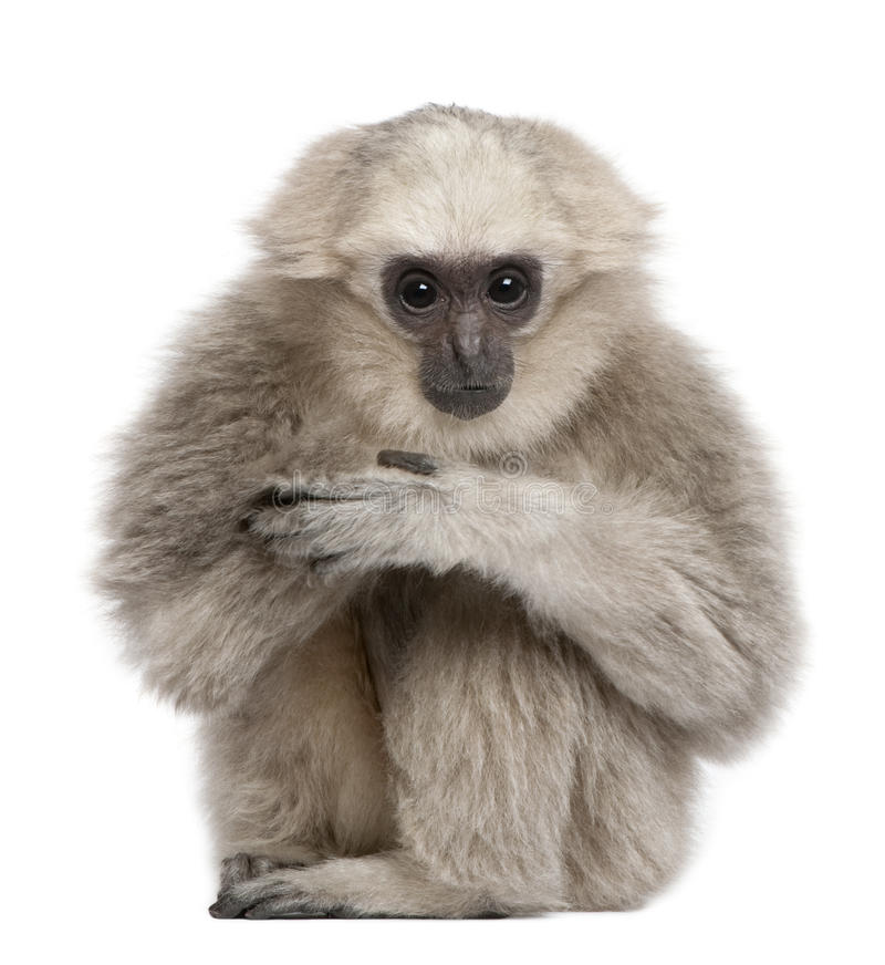 Young Pileated Gibbon, 1 year. Hylobates Pileatus, sitting in front of white background royalty free stock photos