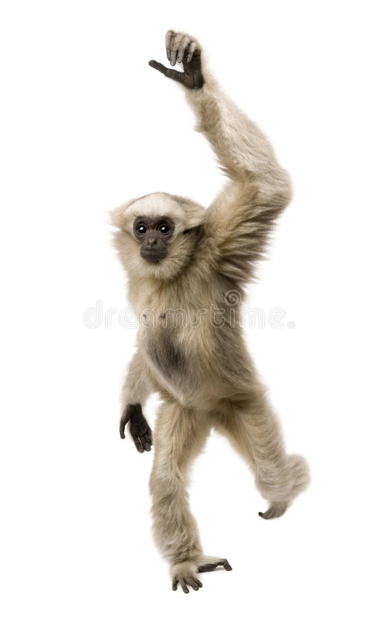 Young Pileated Gibbon, 1 year old. Hylobates Pileatus, walking in front of white background stock photo