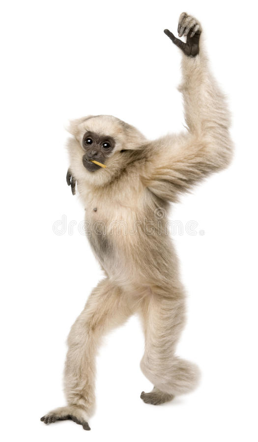 Young Pileated Gibbon, 1 year old. Hylobates Pileatus, walking in front of white background stock images