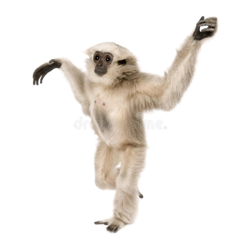 Young Pileated Gibbon, 1 year old. Hylobates Pileatus, walking in front of white background stock photos