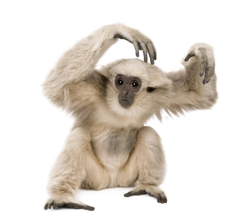 Young Pileated Gibbon, 1 year old. Hylobates Pileatus, sitting in front of white background royalty free stock photos