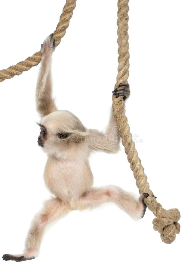 Young Pileated Gibbon, 4 months old. Hylobates Pileatus, hanging from rope in front of white background royalty free stock images