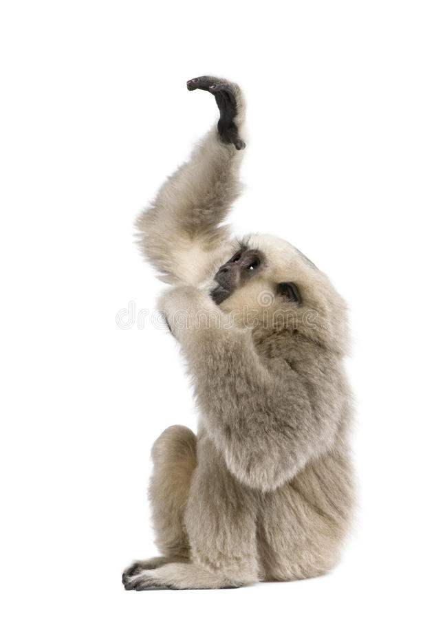 Young Pileated Gibbon, 4 months old, reaching up. In front of white background royalty free stock photos