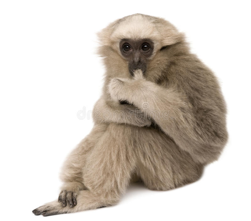 Young Pileated Gibbon, 4 months old, sitting. In front of white background royalty free stock photography