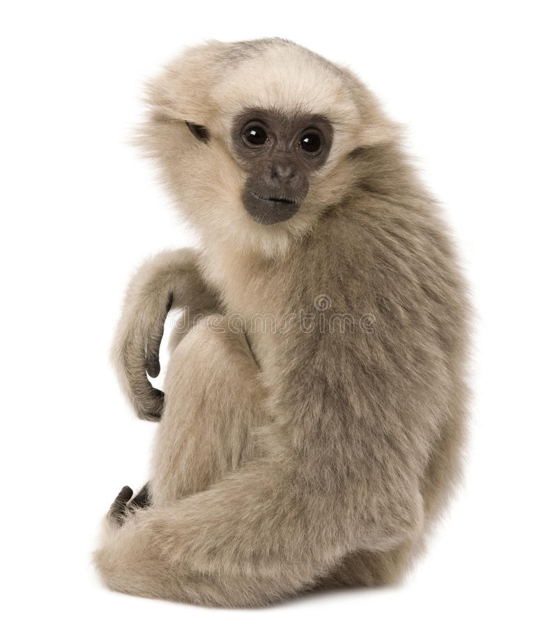 Young Pileated Gibbon, 4 months old, sitting. In front of white background stock photography