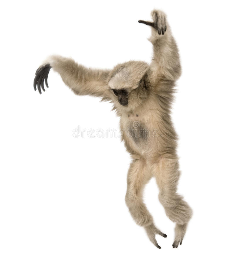 Young Pileated Gibbon, Hylobates Pileatus. 1 year old, leaping in front of white background stock photo